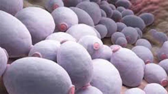 Грибок Candida - причина возникновения аллергии